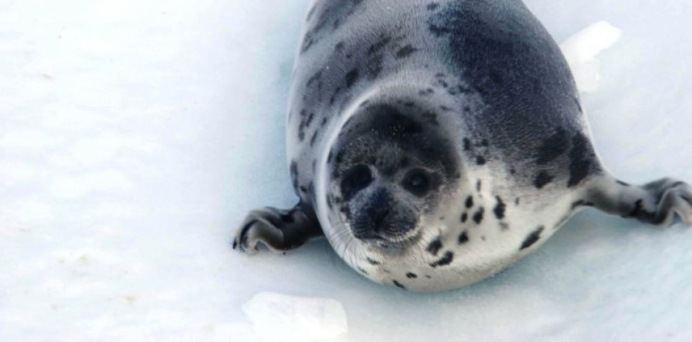 Why Is Canada Killing Seals?