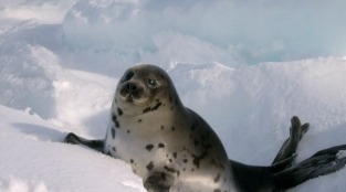In Its 150th Year, Urge Canada to End the Commercial Seal Slaughter