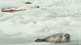 14 Shocking Seal Slaughter Photos
